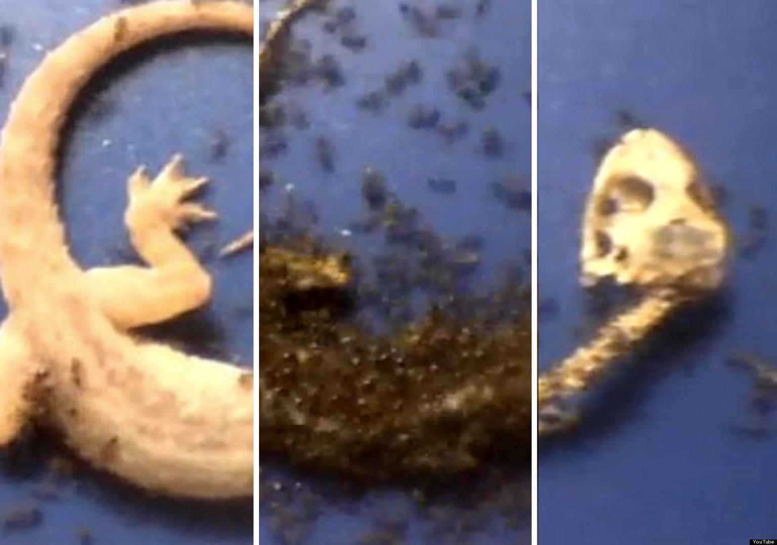 o-ANTS-EATING-GECKO-VIDEO-facebook.jpg