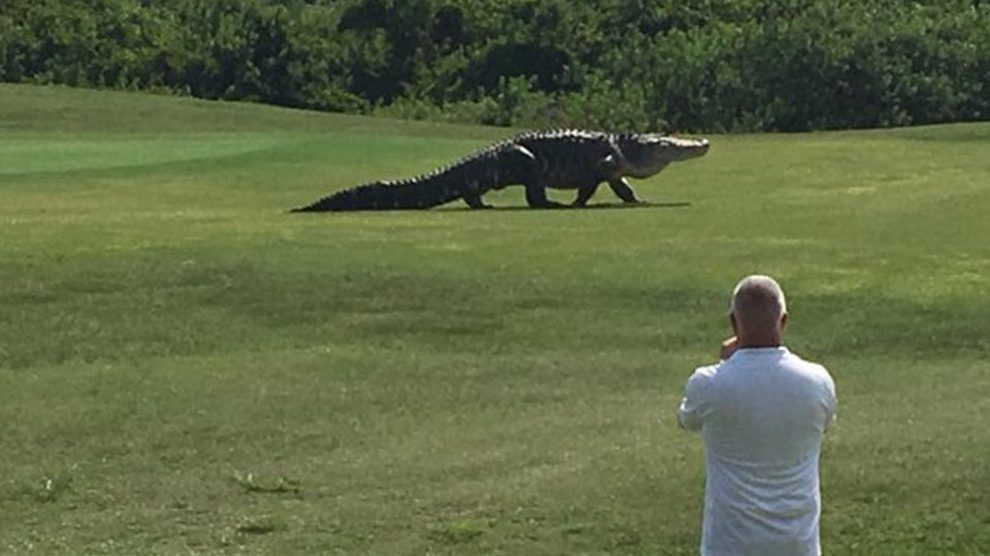 This Giant Alligator walks across a golf course in Florida