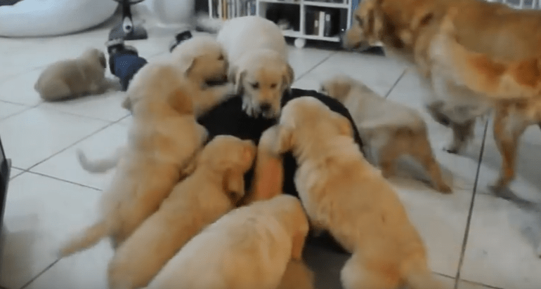 "Massive ""Attack"" Of Golden Puppies"