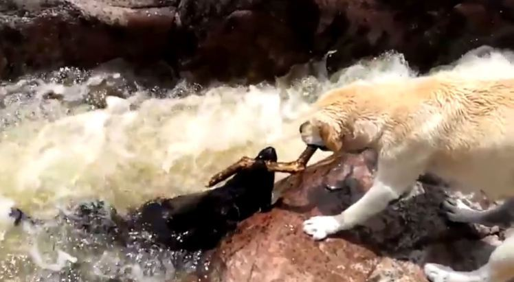 Dog Saves Another Dog's Life From Rushing Rapids
