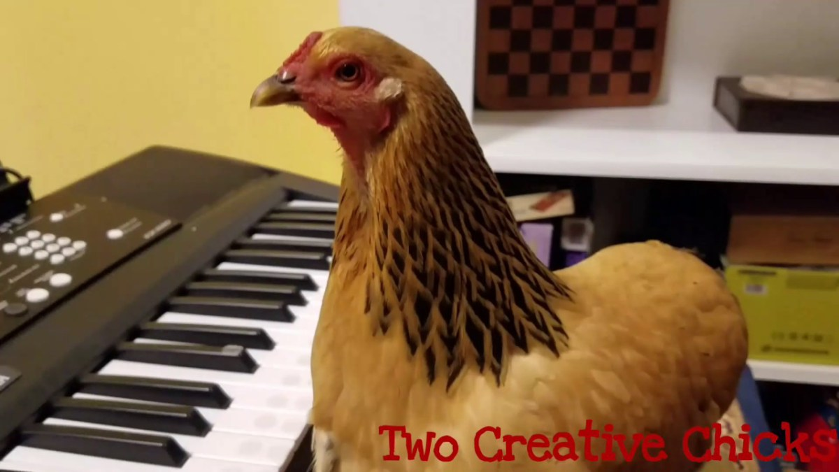 "Chicken Plays ""America The Beautiful"" On Piano"