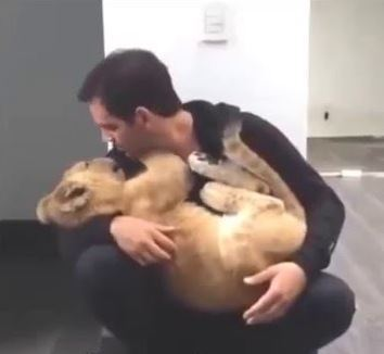 Baby Lion Is In Love With A Man
