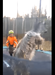 Goat Jumping Around On Elastic Bed