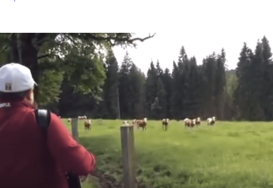 Cows Come Over To Hear Accordion Music