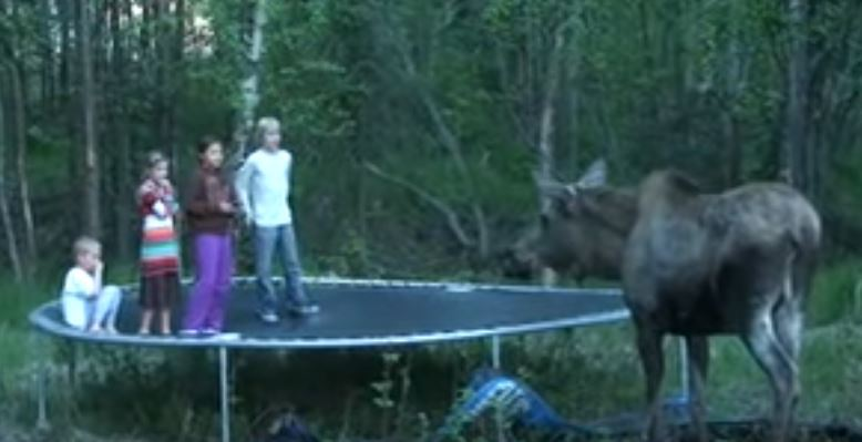 Funny Moose Encounter