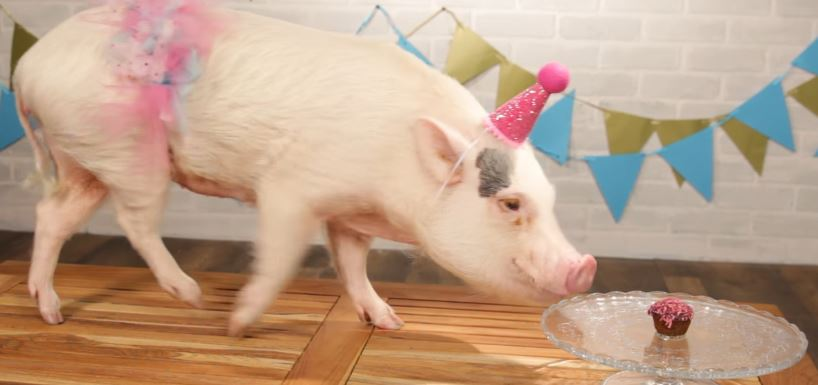 Cute Pigs Love Mini Cupcakes