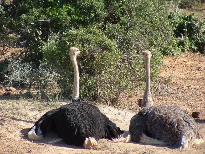 Twee struisvogels in Zuid Afrika; ik had er zo eentje kunnen zijn