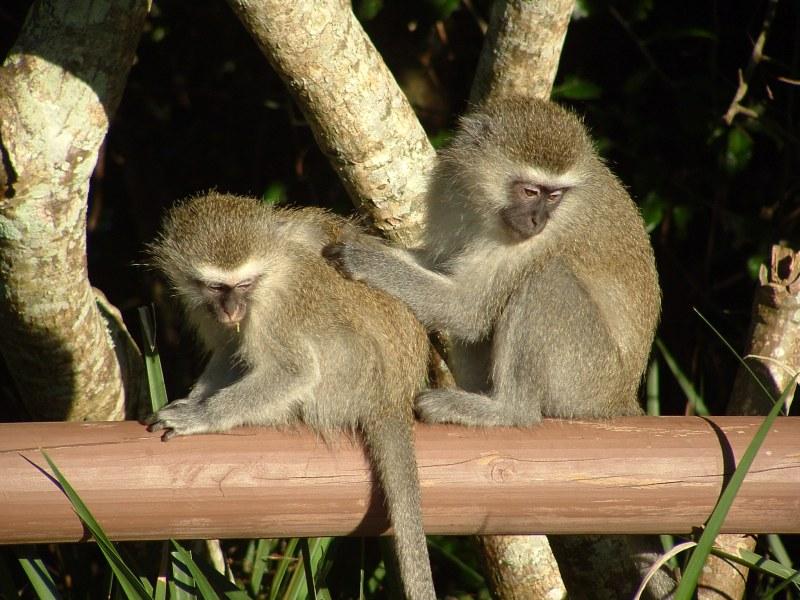 Voorbereidingen Afrika aapjes