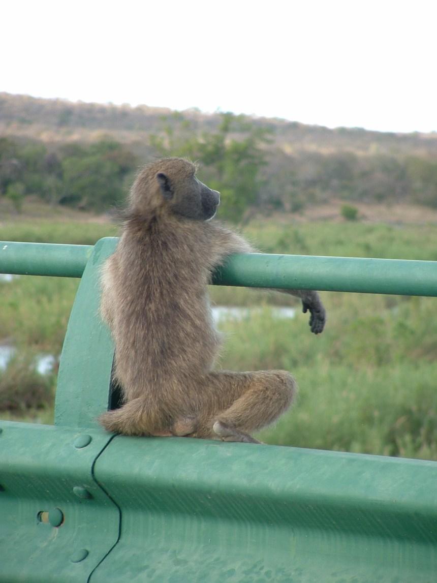 Kaapstad naar Johannesburg Baviaan Zuid Afrika