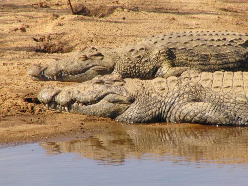 Kaapstad naar Johannesburg krokodil zuid afrika