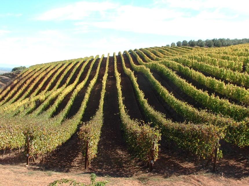 Wijngaard in Stellenbosch
