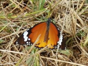 Monarchvlinder Zuid Afrika