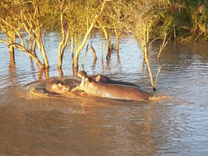 Vechtende nijlpaarden St. Lucia Wetlands Zuid Afrika