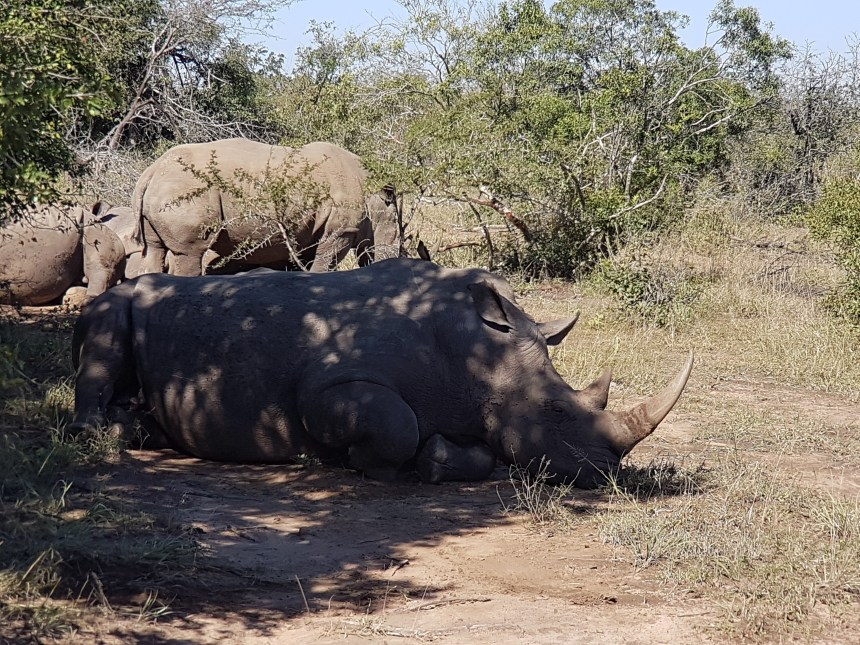 Neushoorn Hluhluwe National Park Zuid Afrika