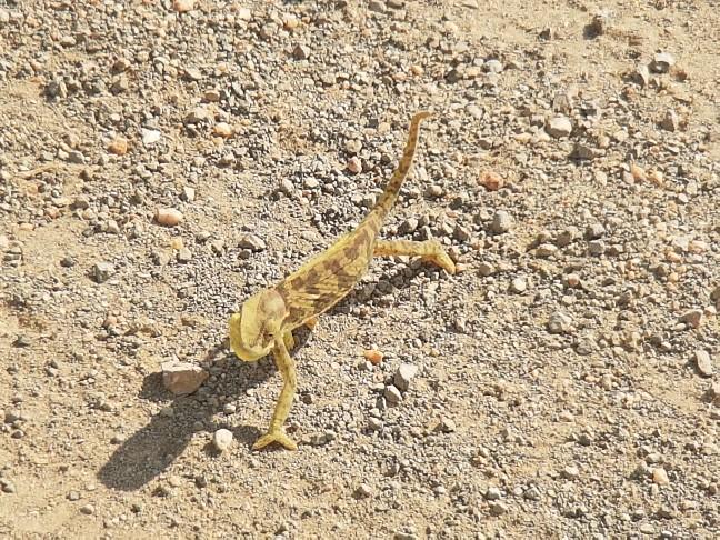 Kameleon Kruger National Park Zuid Afrika