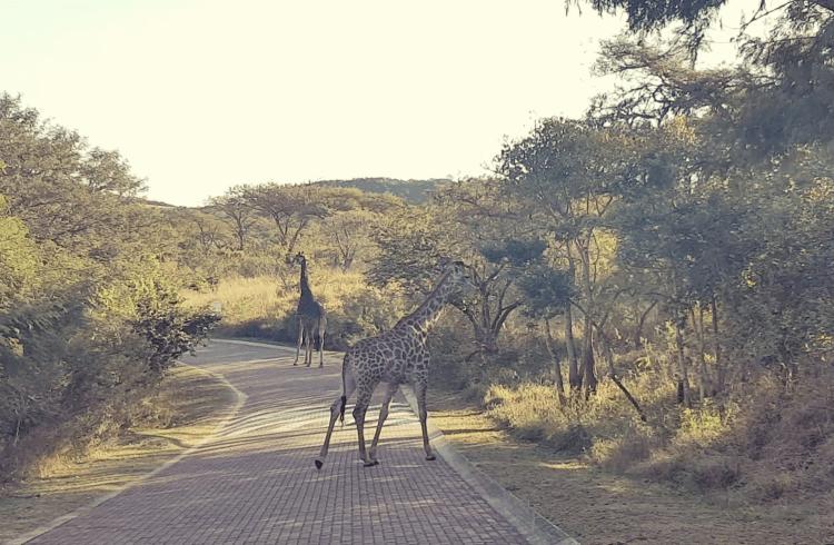Giraf blokkeert autoweg Zuid Afrika