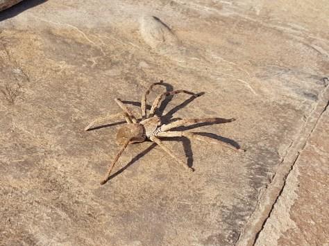 Veel te grote spin Zuid Afrika Baviaanspin