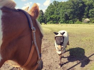 Pony ontmoet IJslander in exceemdeken