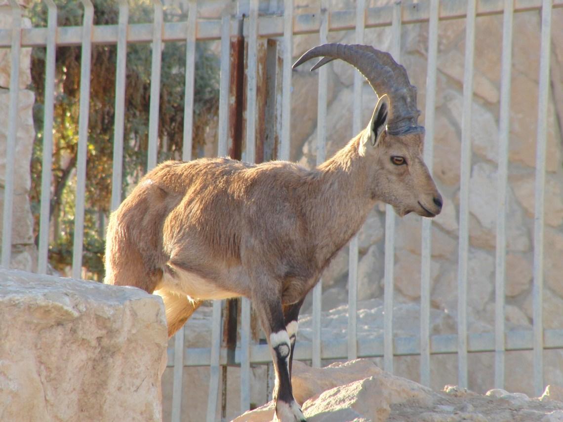Berggeit woestijn Israël