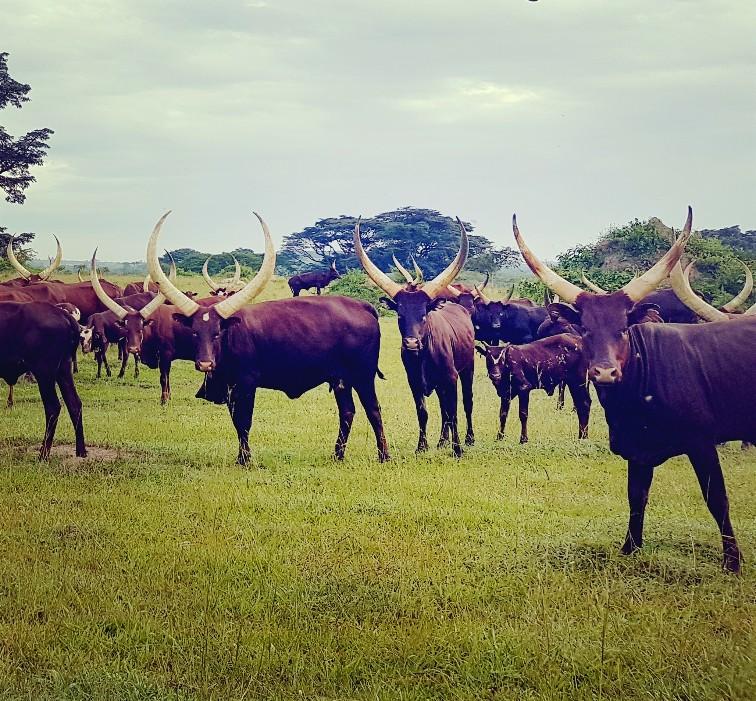 Ankole koeien Oeganda