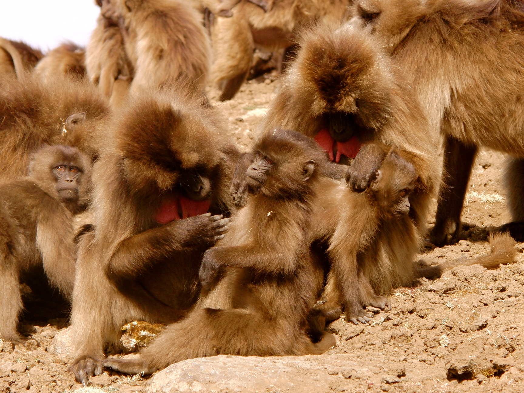 Ethiopië Gelada Baviaan