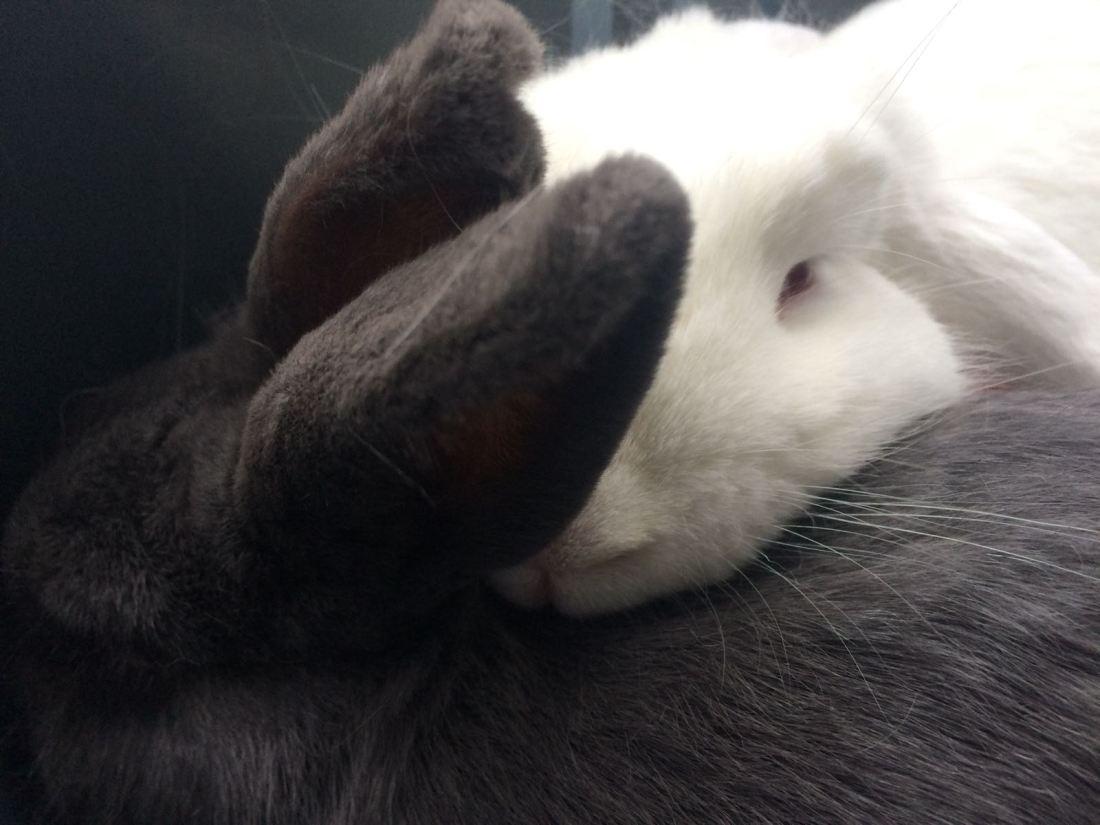 wit en grijs konijn knuffelen