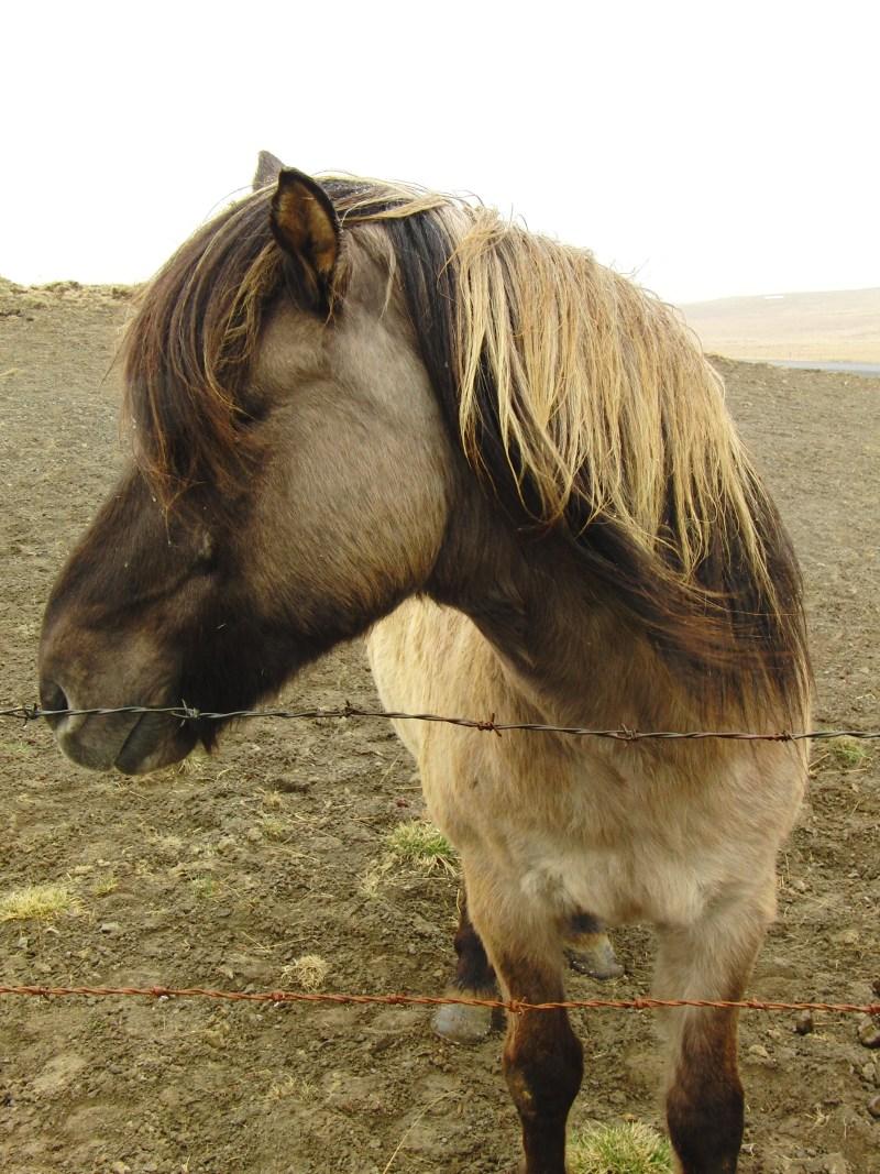 IJsland paardrijden Ishestar