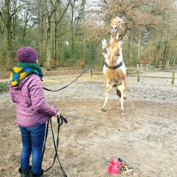 Paard stijgeren longeren