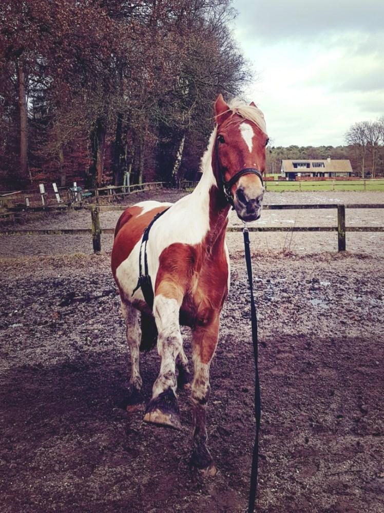 paard spaanse pas