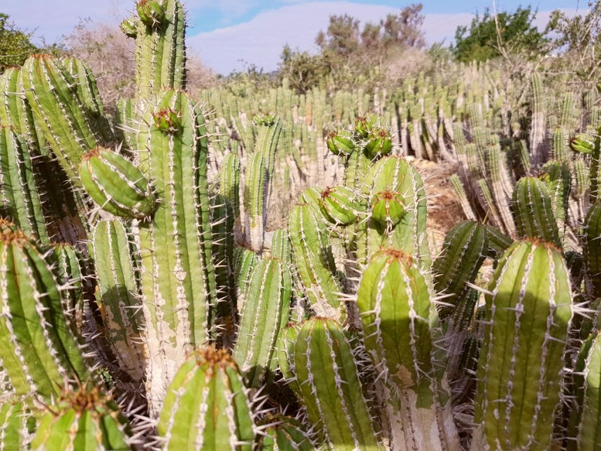 Agadir Marokko cactus