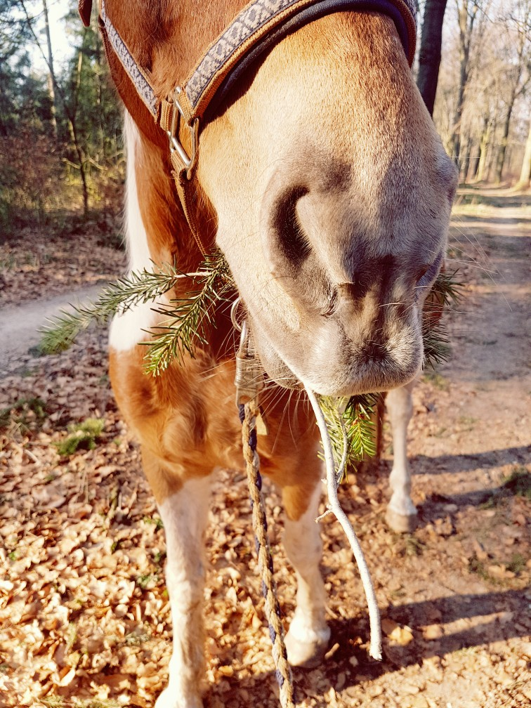 Paard eet dennentakken