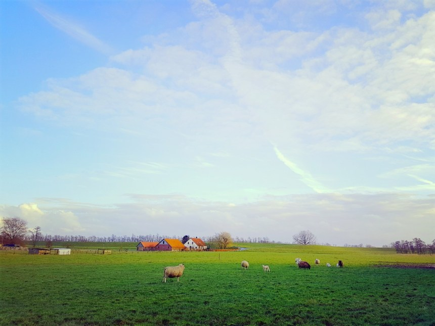 schapen weiland platteland