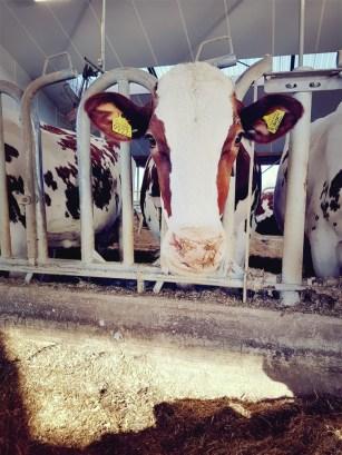 roodbonte koe CRV fokkerij