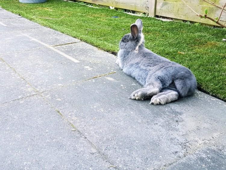 Grijs konijn schutkleur