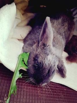 sterilisatie konijn