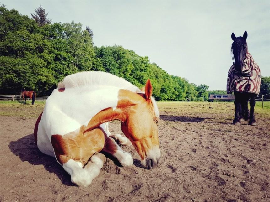 slapend bont paard