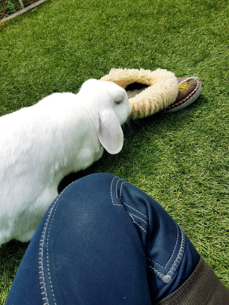 wit konijn eet pantoffel