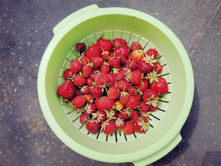 aardbeienoogst uit eigen tuin