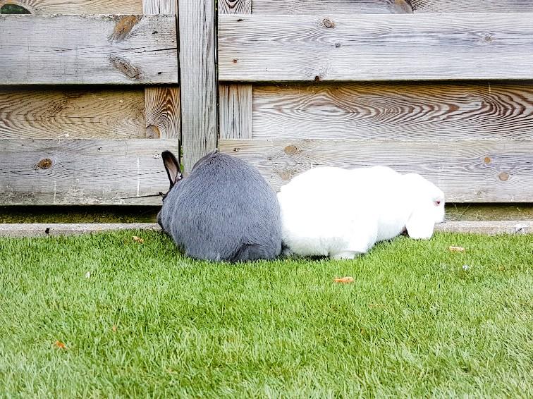 grijs en wit konijn