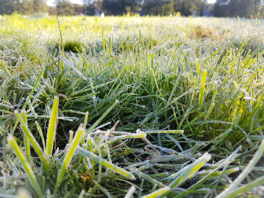 dauw gras winter