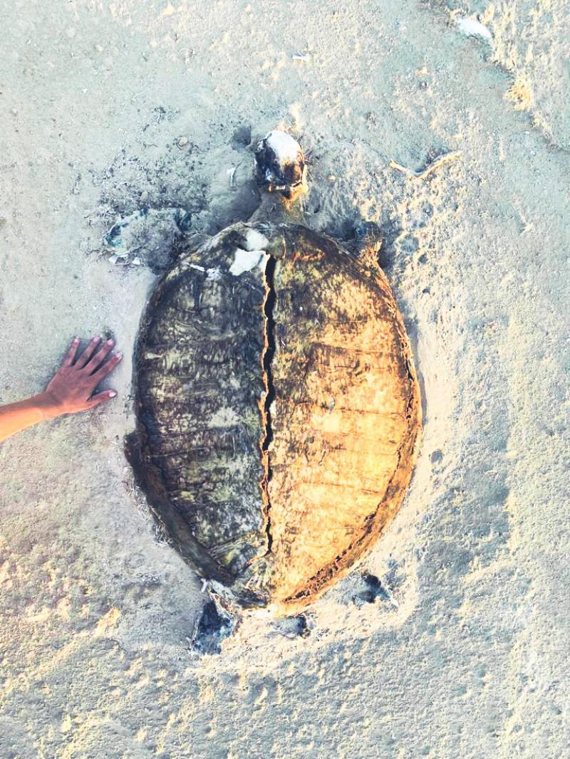 Filim beach dode zeeschildpad Oman