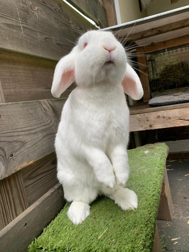 albino konijn bedelt om eten