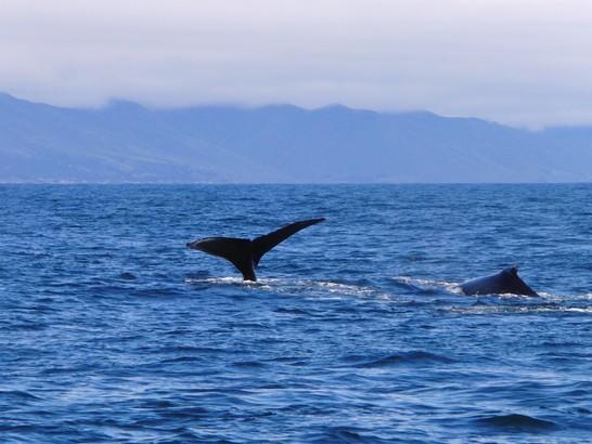 Walvissen Monterey Bay Amerika