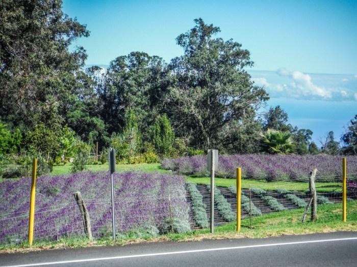 haleakala lavender farm