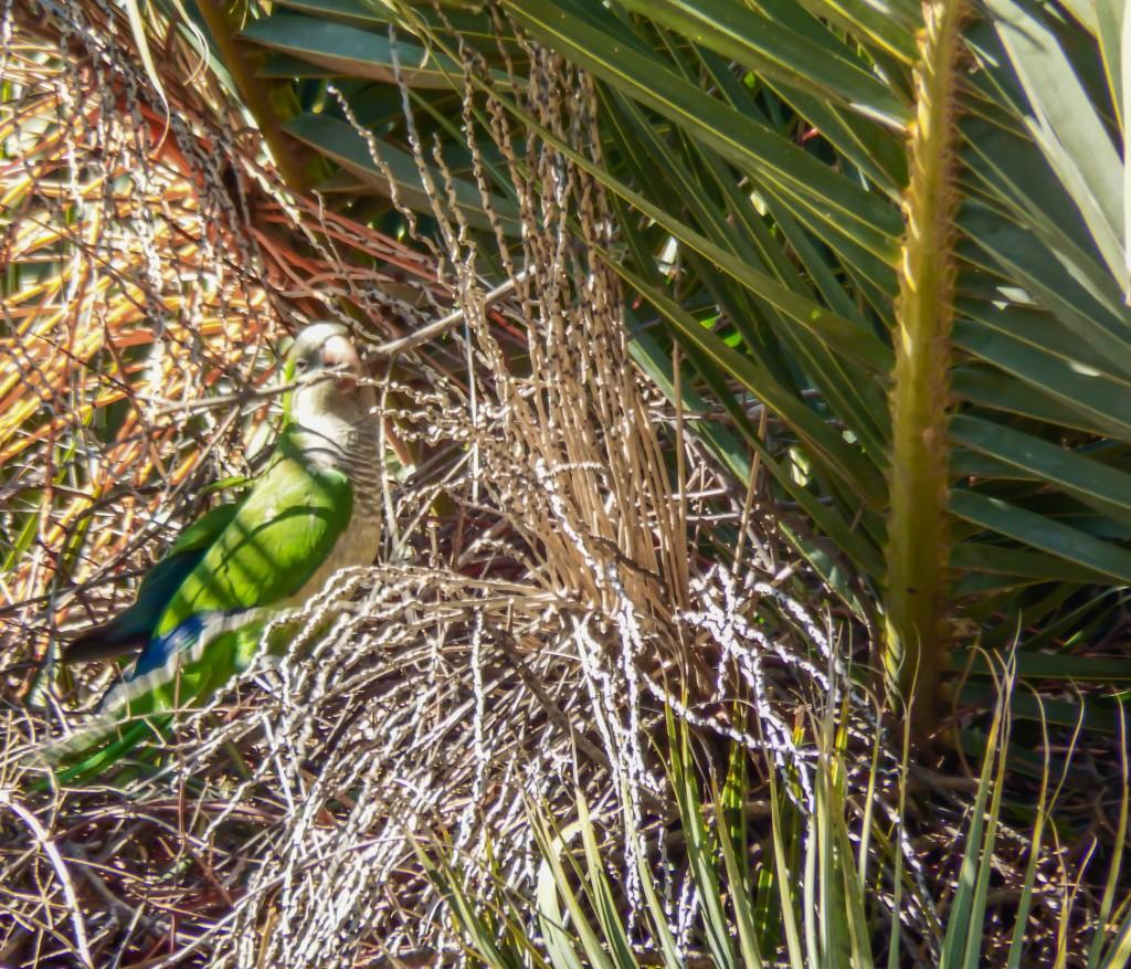 The parrots of Antoni Gaudí's Park Güell in Barcelona, Spain