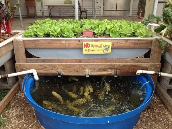 Raising And Harvesting Trout For Aquaponics Mywaterearth Com