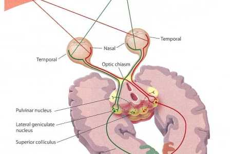 Interior inferior colliculus function quizlet free interior design for a sheep brain dissection guide ventricle gallery anatomy quizlet anatomy labelled exam chapter diagrams and labeling flashcards quizlet cerebral gyri ccuart Choice Image