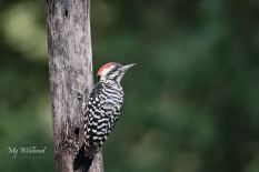 Ladderback Woodpecker