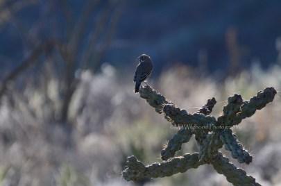 Sparrow on Cholla, Big Bend National Park, Texas