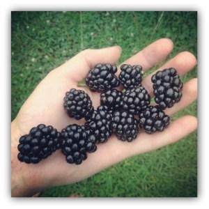 blackberries in hand 2